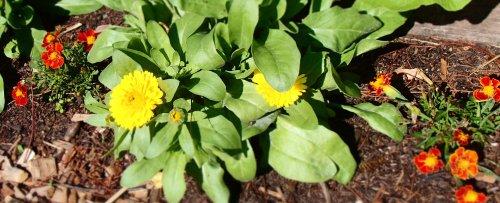 Marigold (Tagetes sp.) and calendula (Calendula officinalis)